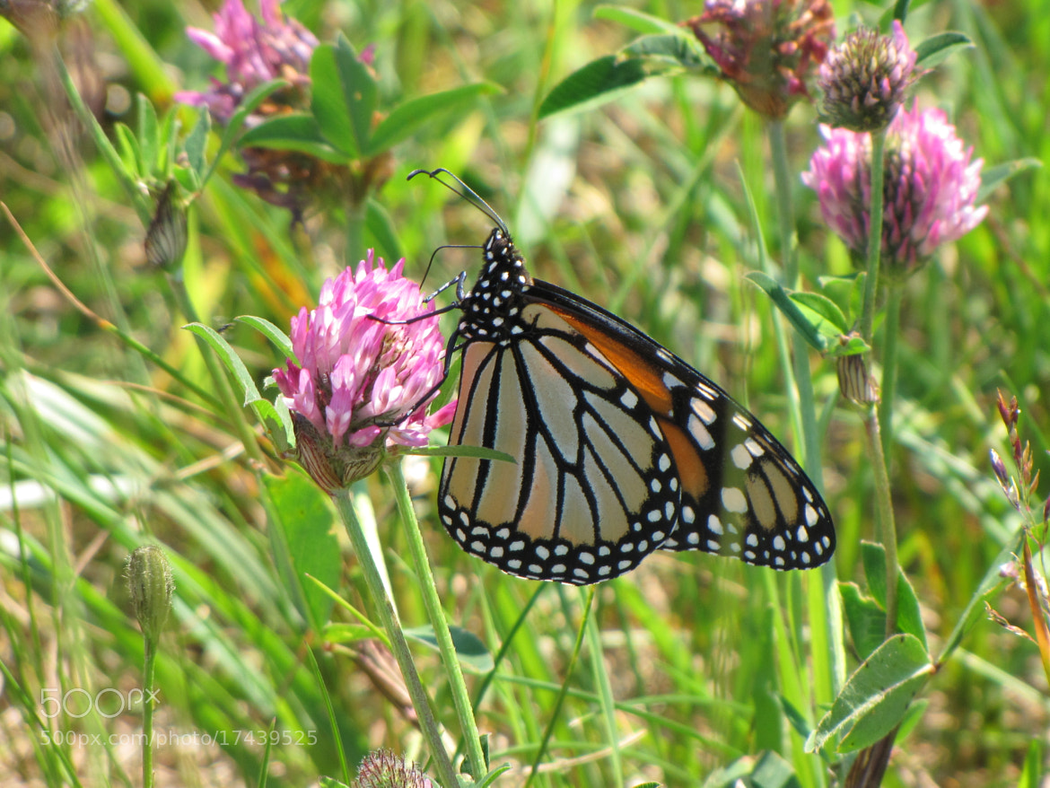 Photograph Monarch Butterfly on Clover by Thomas Clenche on 500px