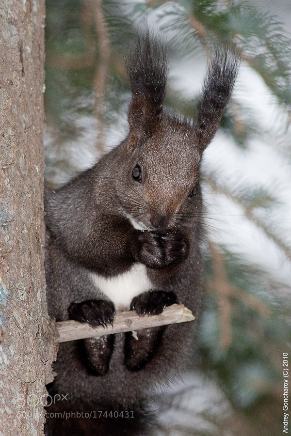 Photograph Sakhalin squirrel (winter) by Andrey Goncharov on 500px