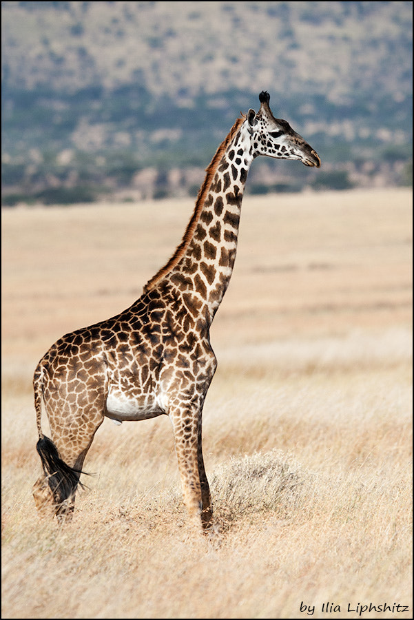 Giraffes of Serengeti №2