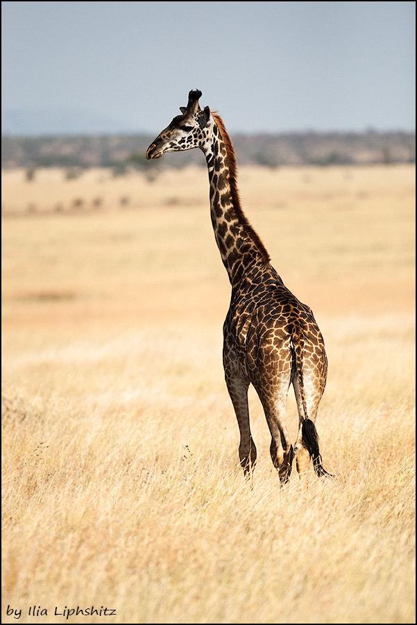 Giraffes of Serengeti №3