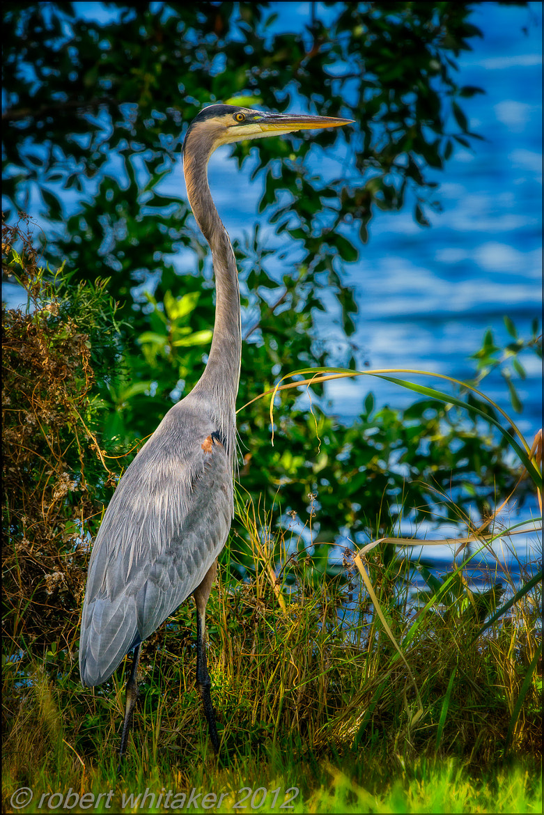 Photograph Great Blue Heron on the hunt by Robert Whitaker on 500px