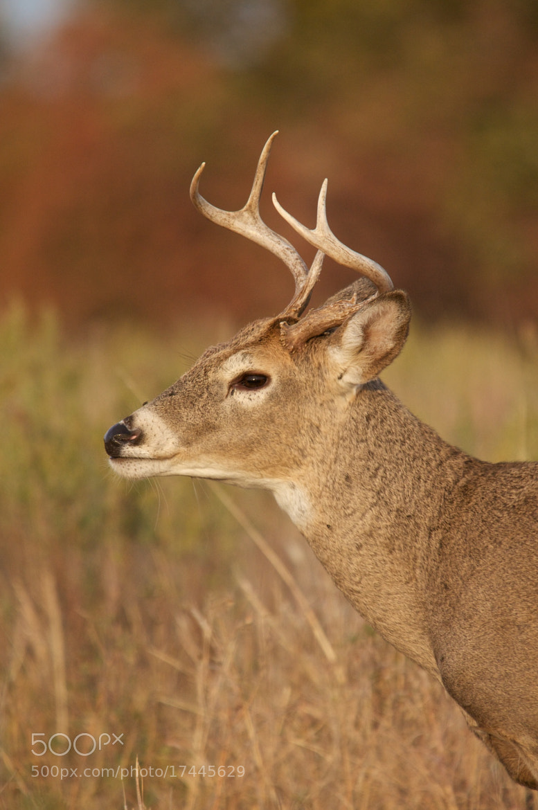 Photograph Young Buck by Mike Fuhr on 500px