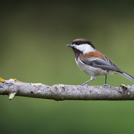 Chestnut-backed Chickadee, Canon EOS 7D MARK II, Canon EF 600mm f/4L IS