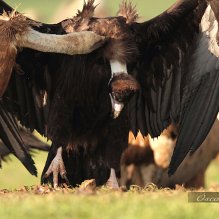 Fighting , Canon EOS 7D, Canon EF 600mm f/4L IS