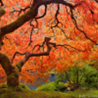 It may not look it, but that tree is just 4 feet tall.  Portland Japanese Garden at peak foliage, Oct/2012.