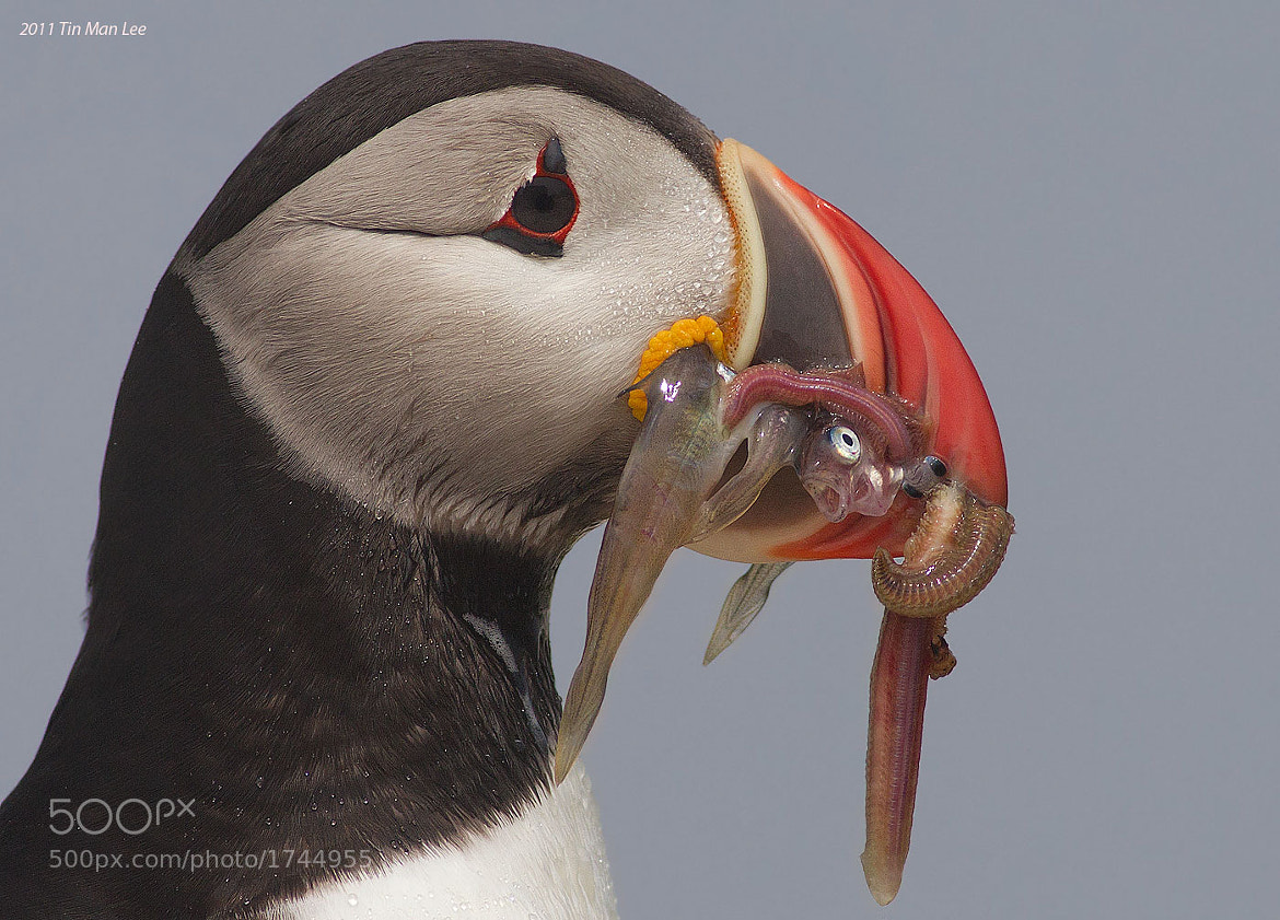 Photograph Puffin with fish and... by Tin Man on 500px