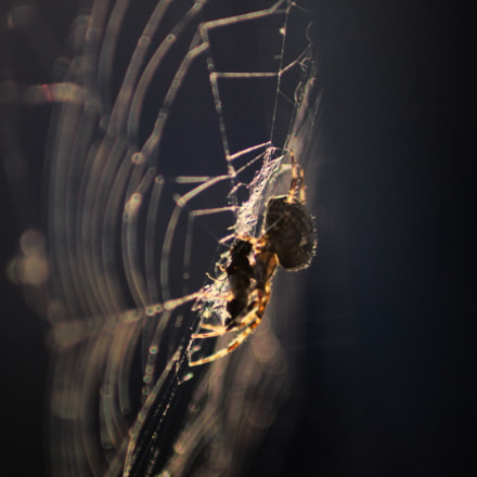 Spider at work, Canon EOS 550D, Canon EF 70-210mm f/4