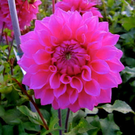 More beautiful flowers from, Canon IXUS 300 HS