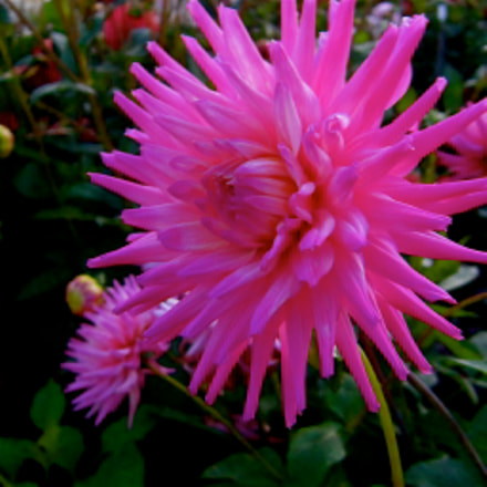 250 blooming flowers of, Canon IXUS 300 HS