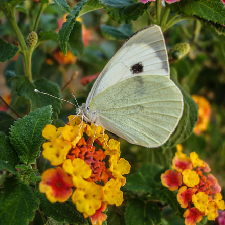 White Butterfly, Sony DSC-P200