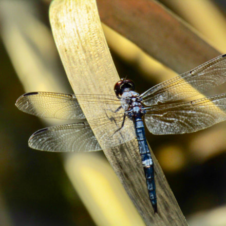 Dragon Fly relaxing, Canon POWERSHOT SX420 IS