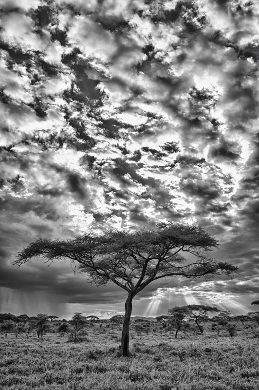 Photograph Clearing storm behind acacia tree by Mike Hagen on 500px