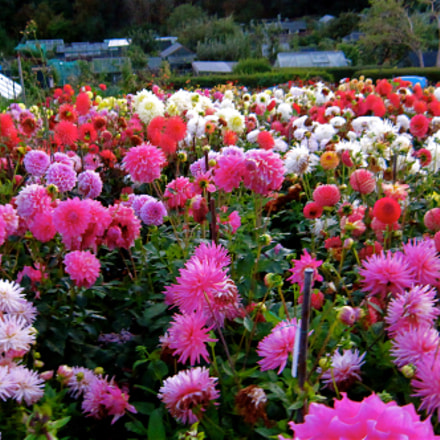 Just beautiful flowers from, Canon IXUS 300 HS