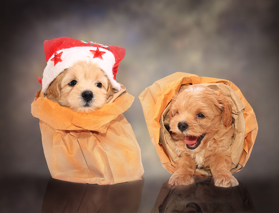 Photograph Two Poodle Puppies in bag by Prachit Punyapor on 500px