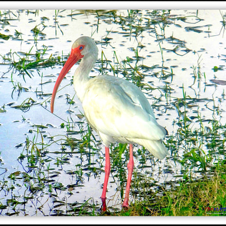 The American white ibis, Fujifilm FinePix F850EXR