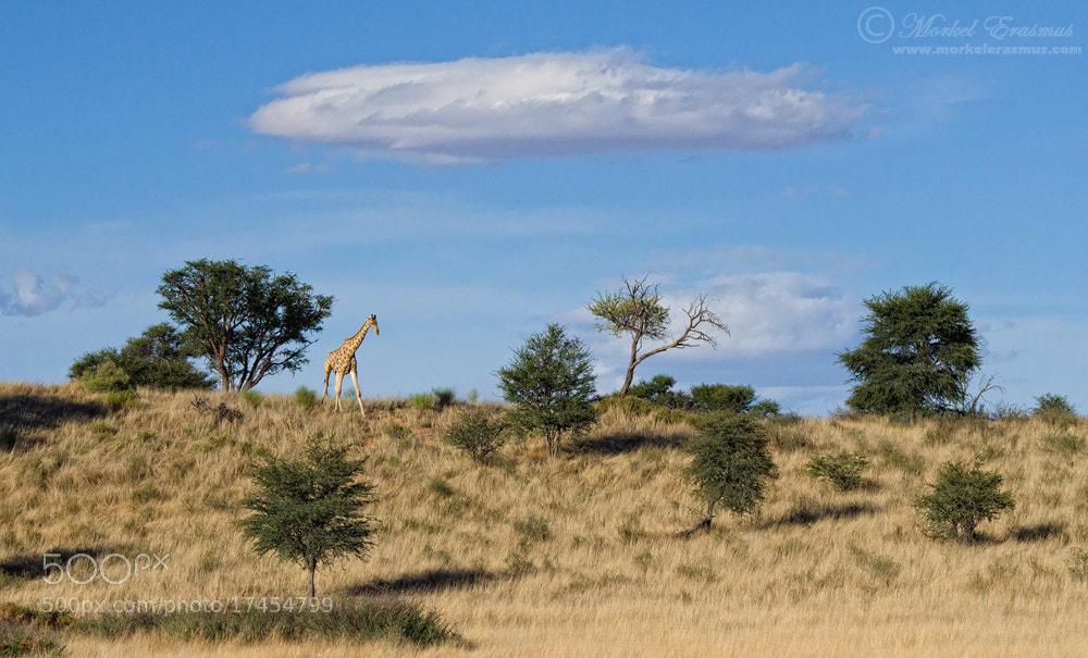 Photograph Kalahari Giraffescape by Morkel Erasmus on 500px