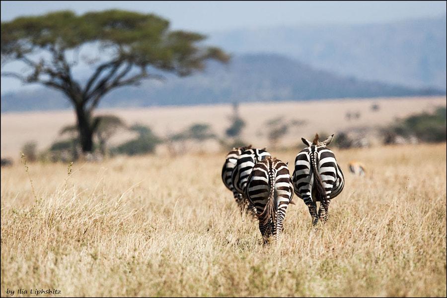 Zebras leaving to horizon - Zebras of Serengeti №1
