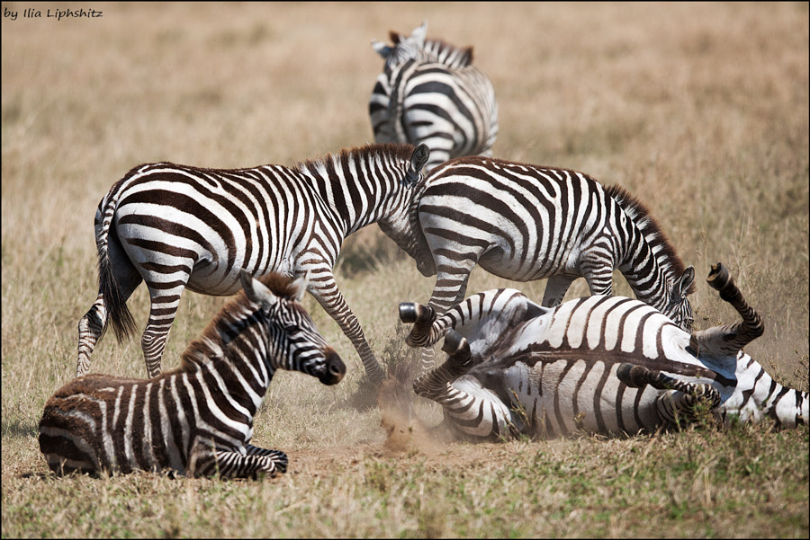 Playing zebras - Zebras of Serengeti №2
