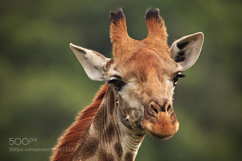 Photograph Smiling Giraffe by Xenedis  on 500px