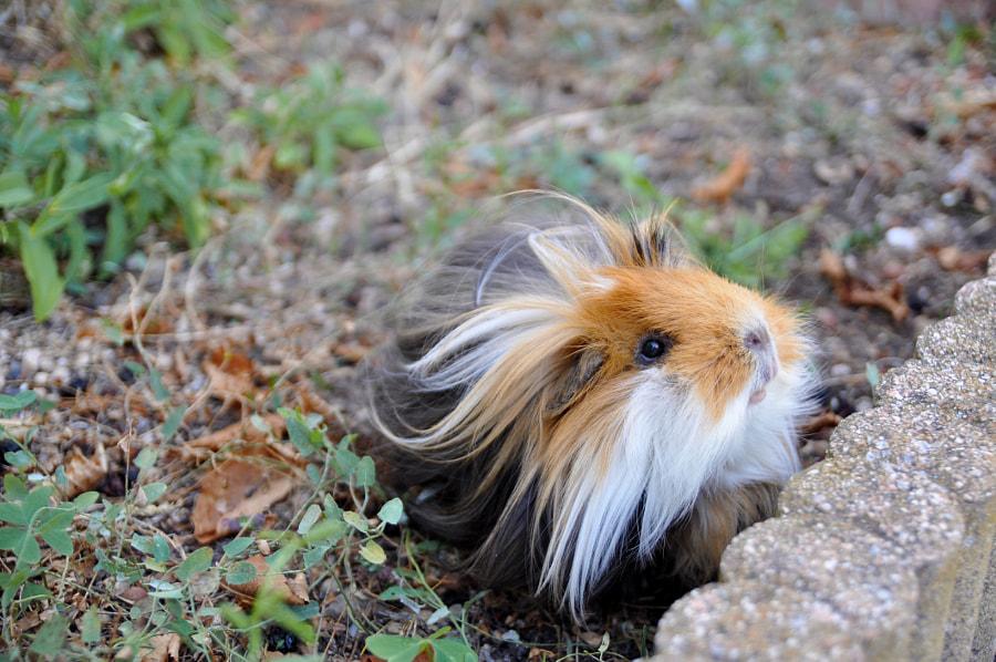 Wild guinea pig by Hanna Longjohn on 500px.com