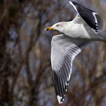 Black backed gull, Canon EOS 7D MARK II, Canon EF 500mm f/4.5L