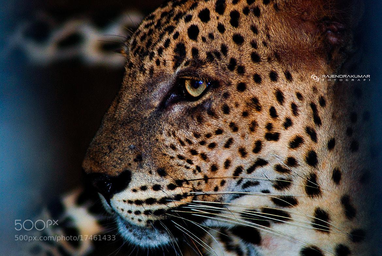 Photograph Sri Lankan Leopard by Rajkumar  on 500px