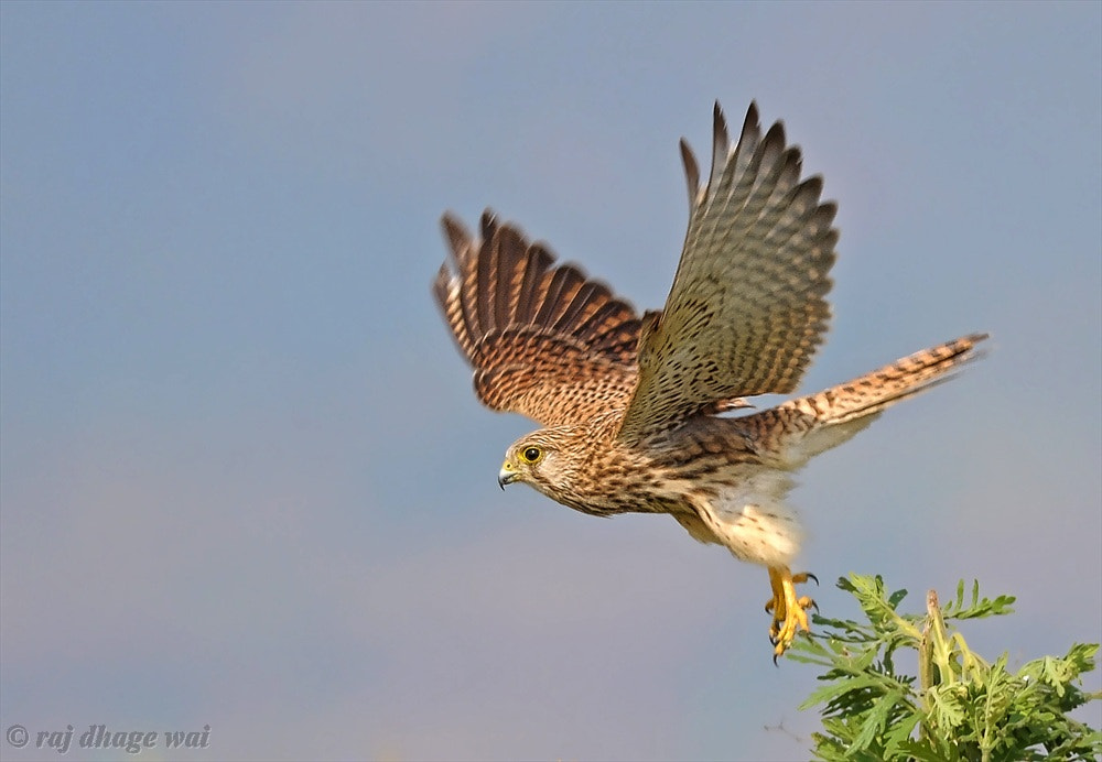 Photograph Common Kestrel ( take off ) by raj dhage on 500px