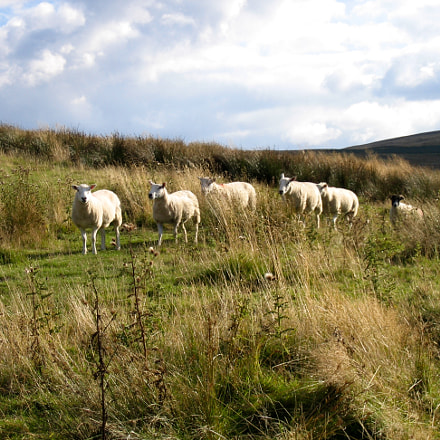 Sheep in a line, Canon DIGITAL IXUS 500