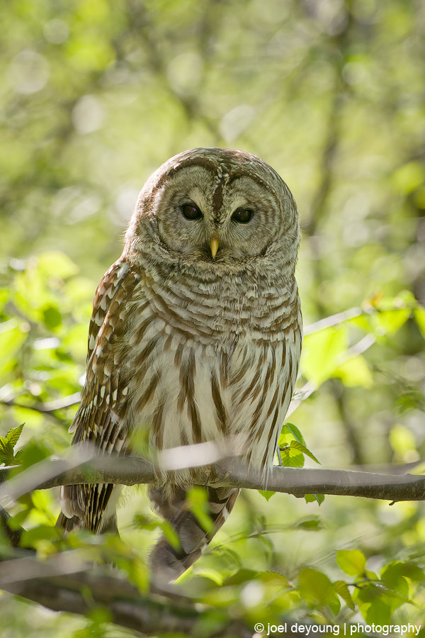 Photograph Barred Owl by Joel DeYoung on 500px