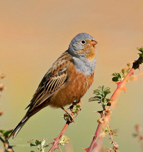 Photograph Cretzschmar`s Bunting by Mehmet Gören on 500px