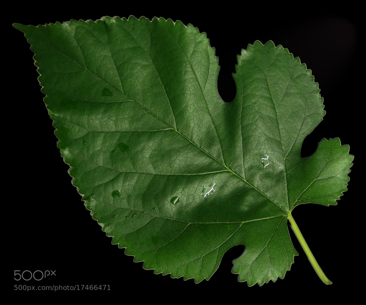 Photograph feuille verte by zapata moon on 500px