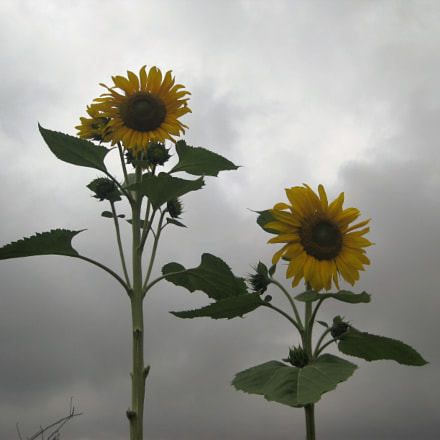 sunflowers pair, Canon DIGITAL IXUS 82 IS