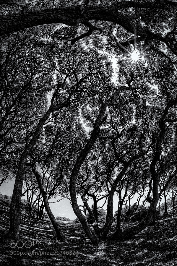 A fisheye shot of the twisted live oak trees at Fort Fisher, North Carolina