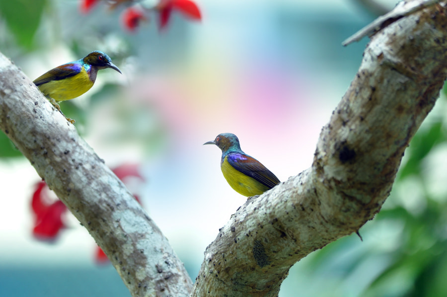 Photograph Two Sunbirds by Khoo Boo Chuan on 500px