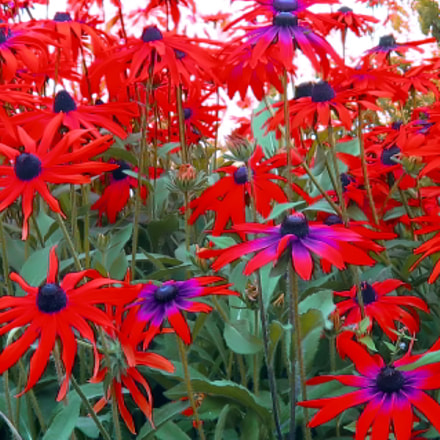 red flowers, Canon POWERSHOT A570 IS