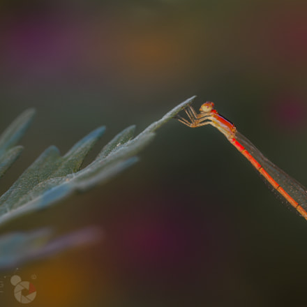 Cute little damselfly, Canon EOS-1D X