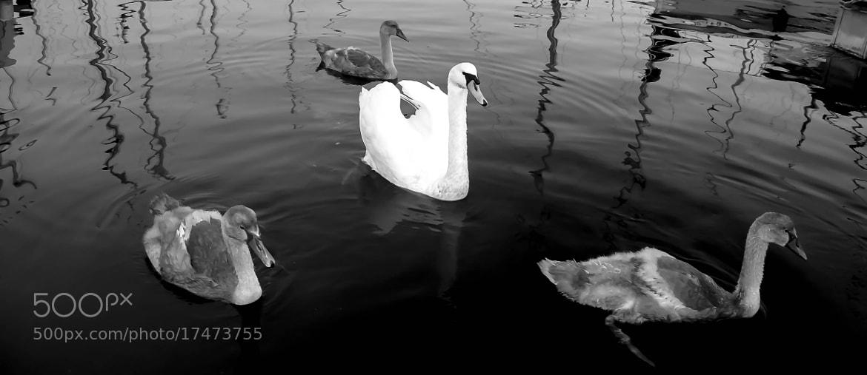 Photograph Swan(s) by julian john on 500px
