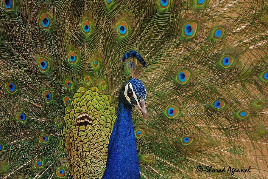 Photograph Indian Peafowl  by Sharad Agrawal on 500px