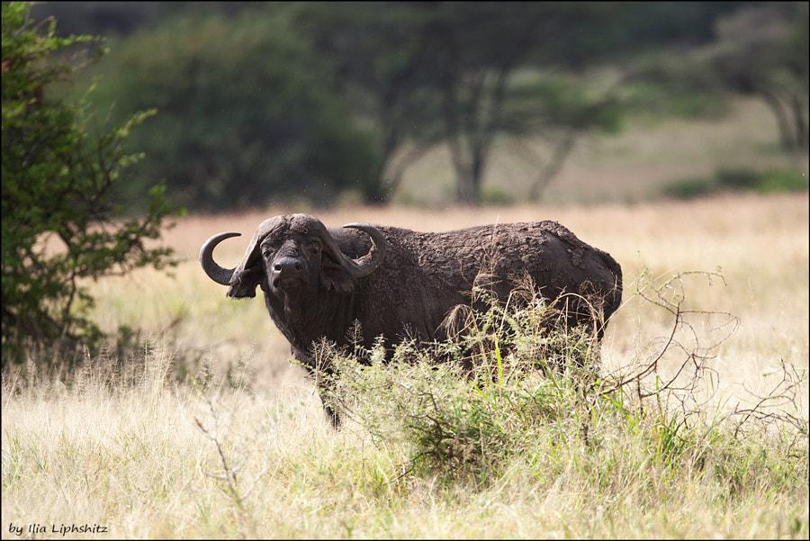 Buffaloes of Serengeti №2