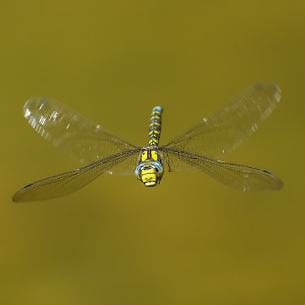 Southern hawker, Canon EOS-1D X MARK II, Canon EF 600mm f/4L IS