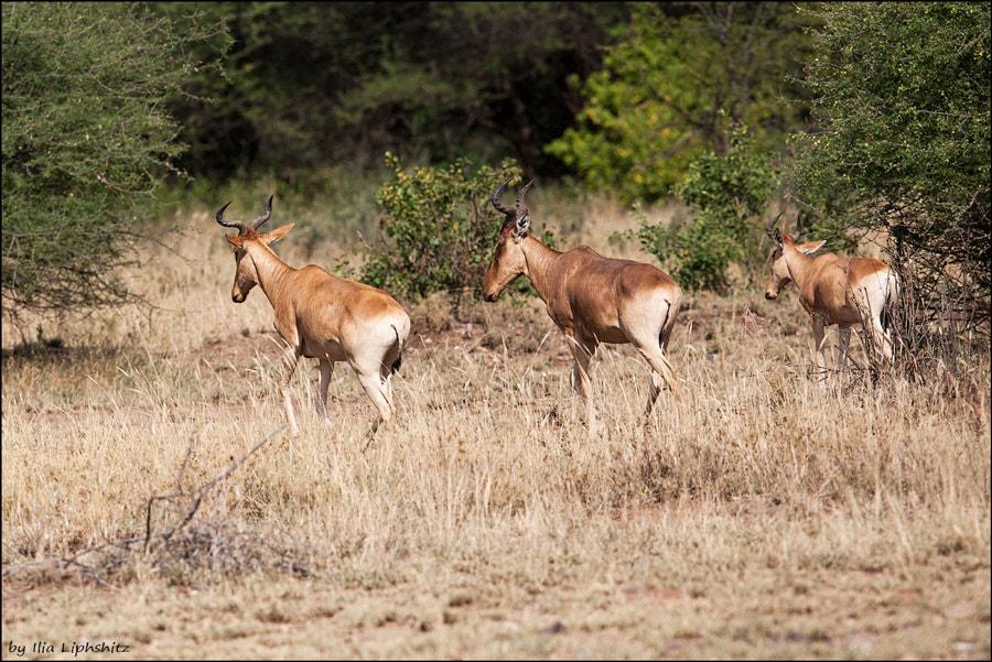 Hartebeests - running away