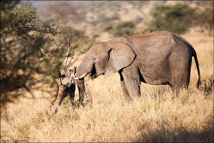Elephants of Serengeti №12