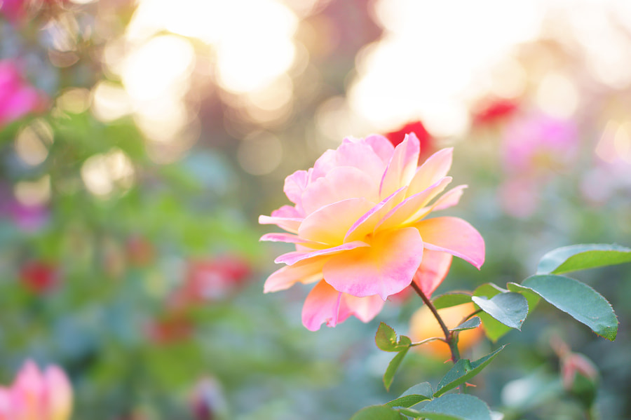 Evening of the rose garden by kodomohalsan  on 500px.com