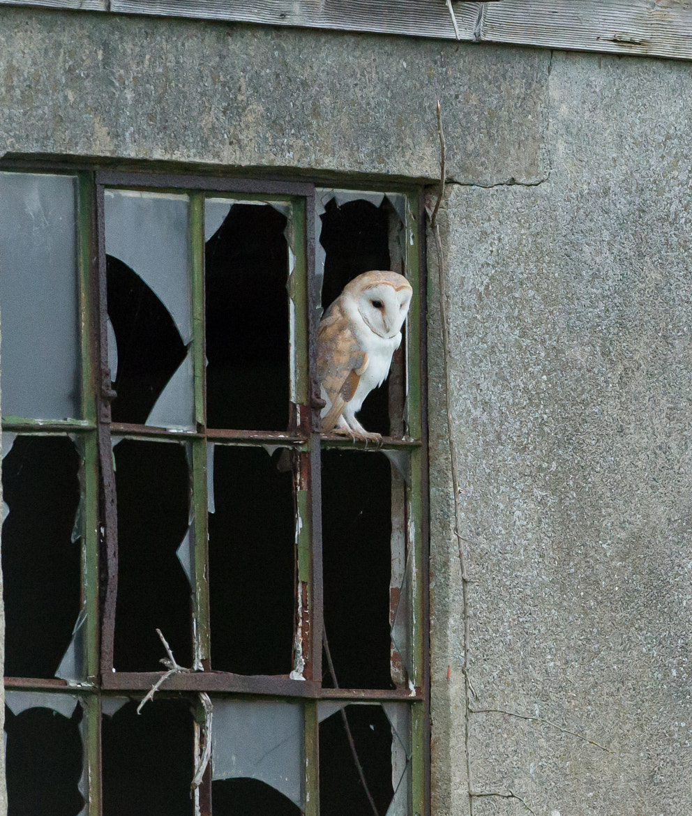 Photograph Barn owl looking out the window by steven whitehead on 500px