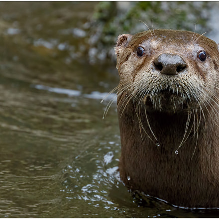 River otter up close., Canon EOS 7D MARK II, Canon EF 400mm f/4 DO IS II USM