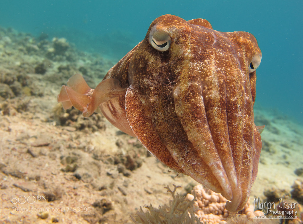 Photograph Cuttlefish by Marjan  Visser on 500px