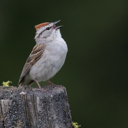 Chipping Sparrow, Canon EOS-1D MARK II N, EF100-400mm f/4.5-5.6L IS USM +1.4x