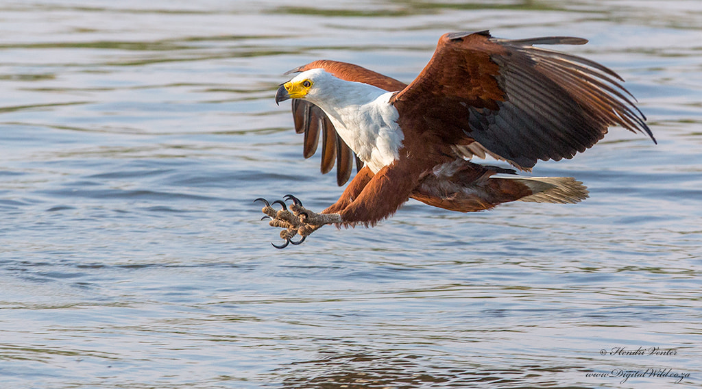 Photograph African Fish Eagle by Hendri Venter on 500px