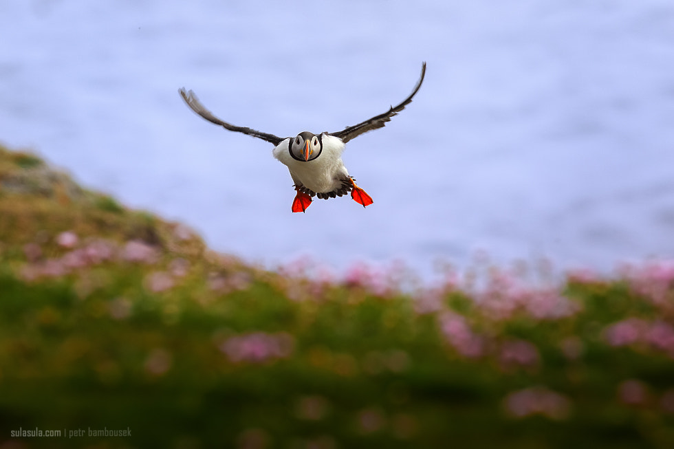 Photograph Atlantic puffin by Petr Bambousek on 500px