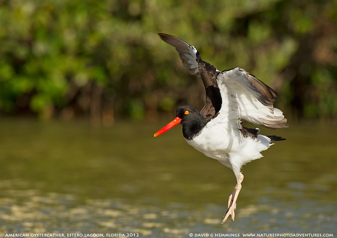 Photograph American Oystercatcher dancing by David Hemmings on 500px
